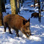 boar 2002317 1920 1