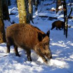boar 2002317 1920